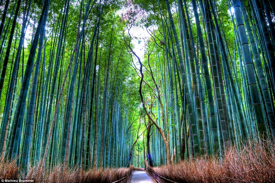 Stunning: The Sagano Bamboo Grove, located in the Sagano Arashiyama area of Kyoto, is a beautiful forest with a path through its heart