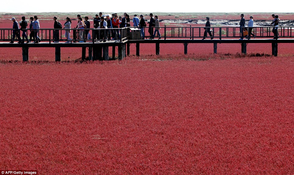 The Red beach scenic area in Panjin, northeast China's Liaoning province. The beach gets its name from its appearance, which is caused by a type of seaweed that flourishes in the saline-alkali soil