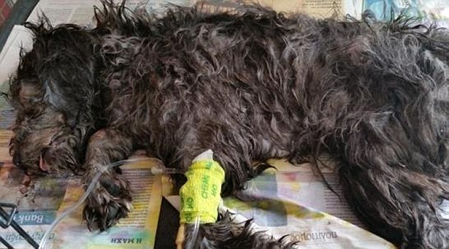 Los siete meses de edad cachorro fue encontrado por los turistas que mienten en el fondo de la papelera aún con vida, pero después de haber sufrido terribles heridas, incluyendo un daño espalda rota y el cerebro