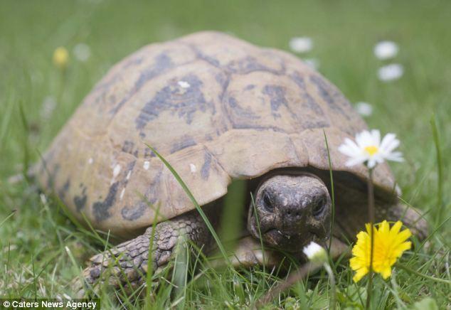 Antiga: tartaruga do Hermann feminino foi de 11 anos, quando ela foi comprada por £ 1 de um mercado de Londres em 1909