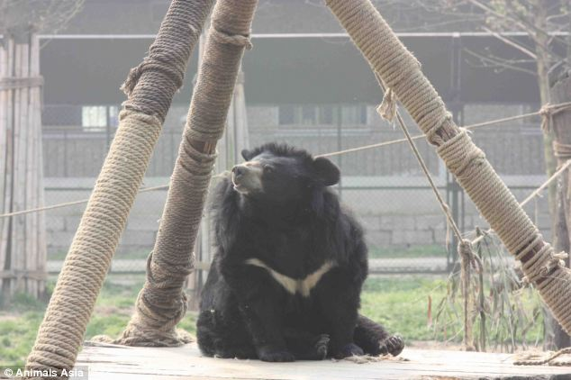 Simple pleasures: A moon bear enjoys the warmth of the sun while on a climbing frame in his enclosure. It is thought there are still 20,000 bears still trapped in cruel bile farms
