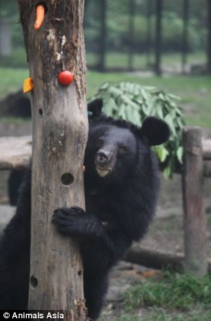 Second chance: A bear looks playfully behind from behind a tree at the sanctuary. Animals Asia is buying up all of the licences for bear bile farms