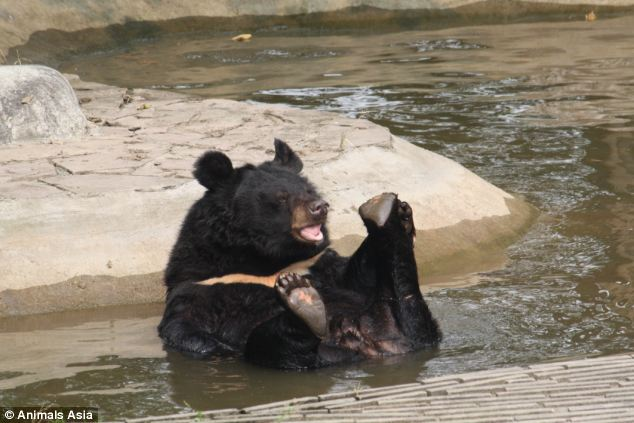 Frolicking: One of the bears relaxes in the water at the sanctuary. Once the animals have their sight, they can go into an enclosure with a pool - it is too dangerous for them otherwise