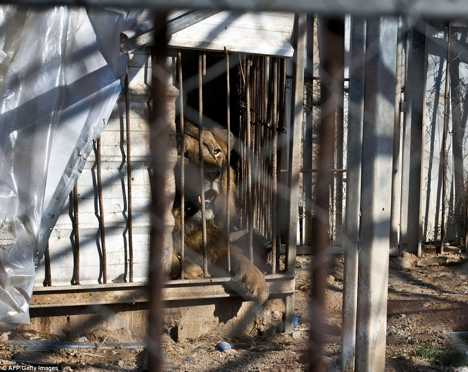 Caged:The lion's enclosure was wrecked and the zoo was completely destroyed, according to one of the zookeepers