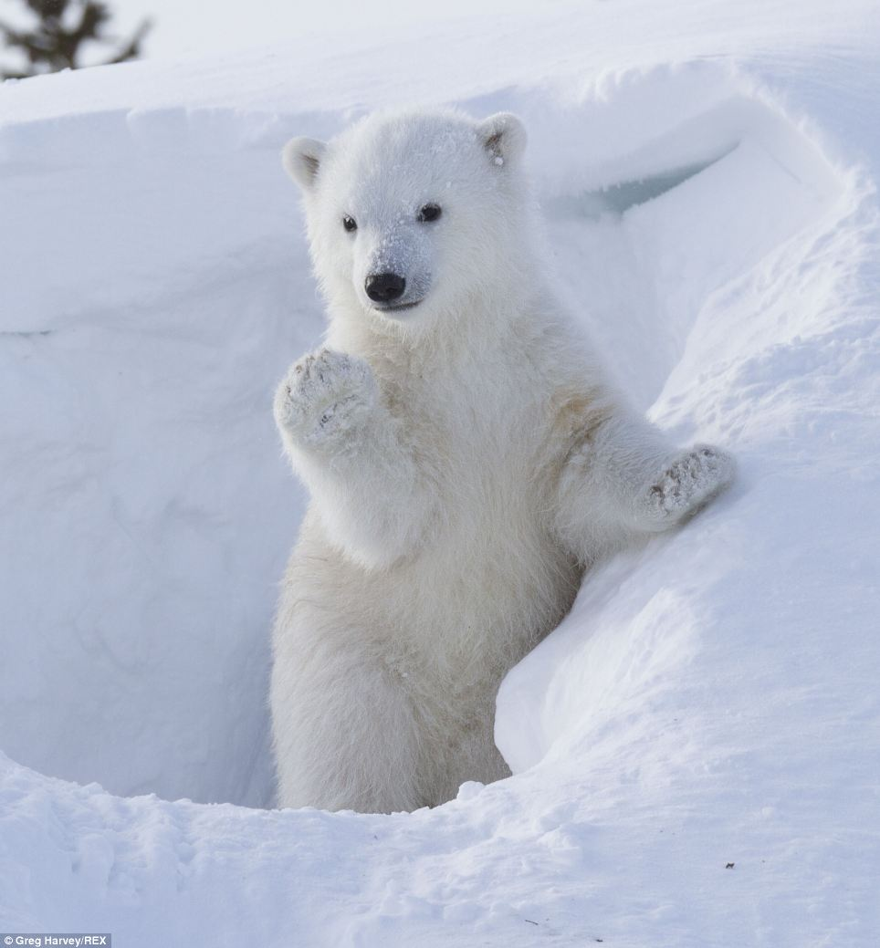 Hello there! This adorable photo shows a polar bear cub waving at the camera as it emerges from its snowy den in Wapusk National Park in Manitoba, Canada