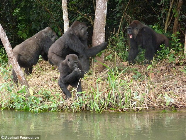 Victims: Gorillas (from left) Mumba, Kishi and baby Akou have all been found dead. FouFou (far right) is missing