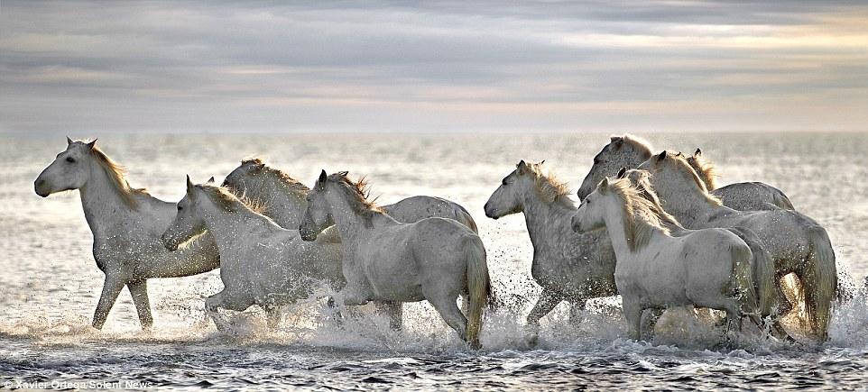 White Camargue Horses Race Along Frances Rhone River In