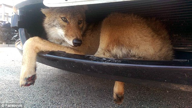 Coy-ootie: This adorable coyote miraculously survived being hit by an SUV and getting caught in the bumper