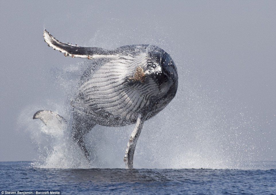 Hello there: A humpback whale threw itself out of the water off the eastern coast of South Africa, waving to amazed onlookers in a tour guide's boat