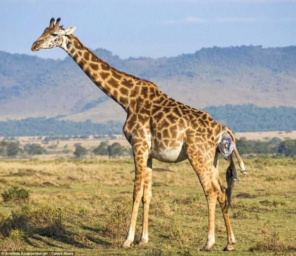 Kenyan giraffe gives birth and the newborn finds getting