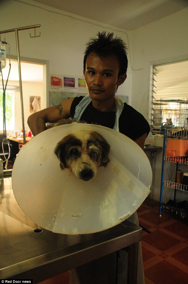 Under treatment: A rescued dog is treated at the Soi Dog Foundation clinic in Phuket, Thailand after being beaten about the head by smugglers