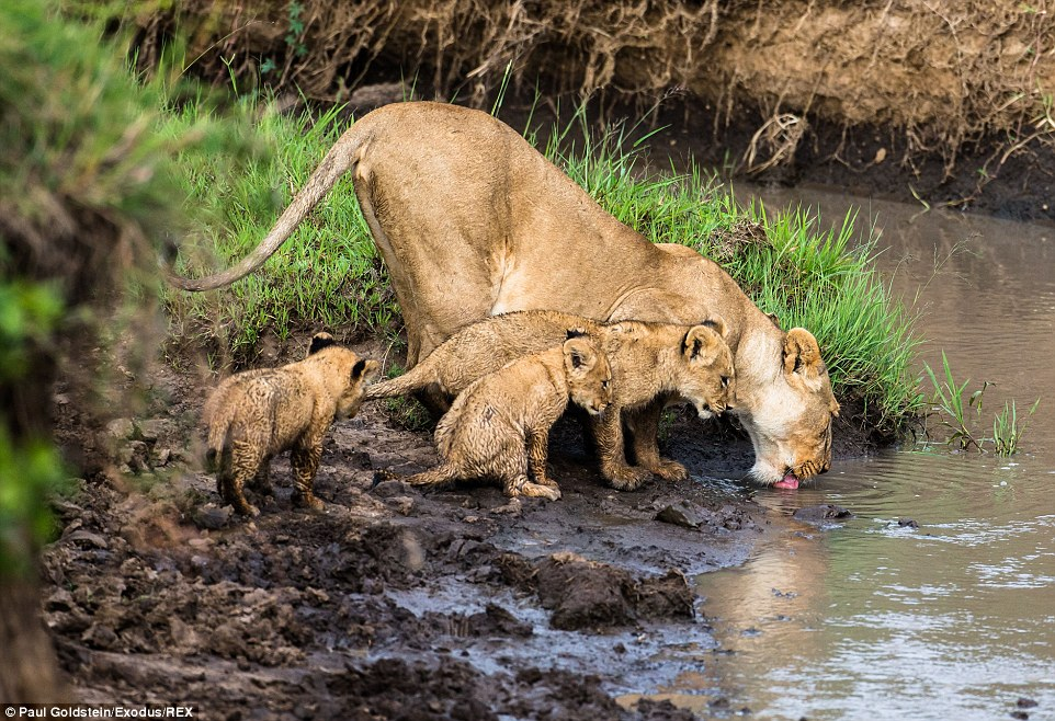 Take a break: The lioness then took her young to another part of the stream to try again where they drank some water in preparation