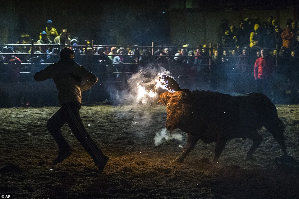 Disturbing: New images have emerged of this annual Spanish bull burning festival which animal rights campaigners are demanding be banned