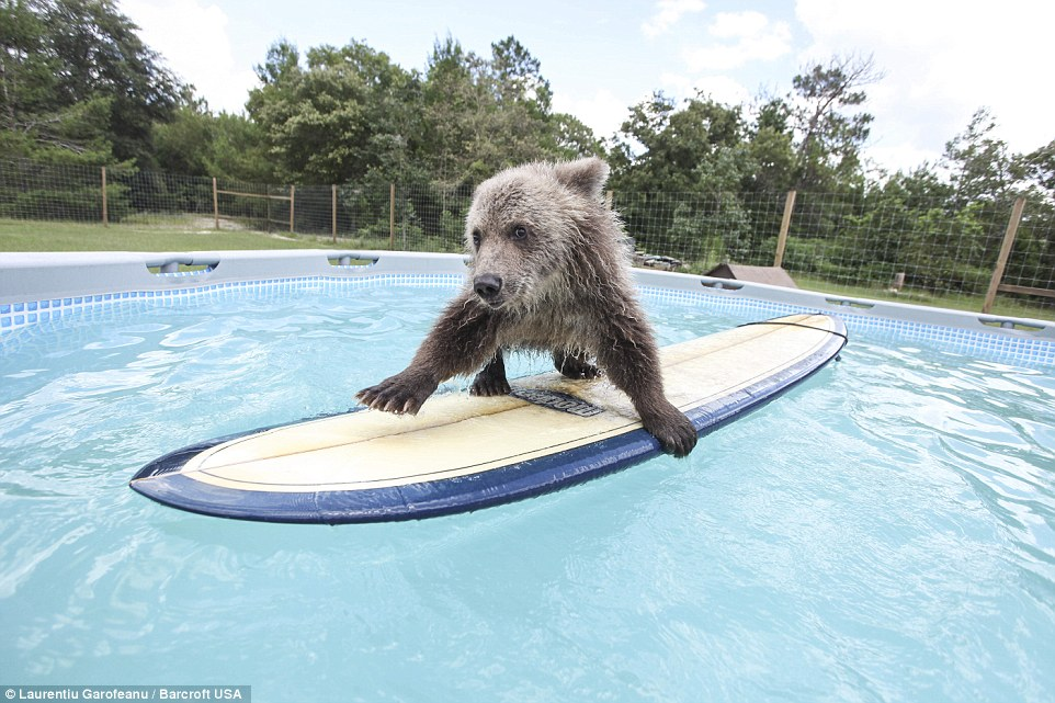 Image result for bears in pools