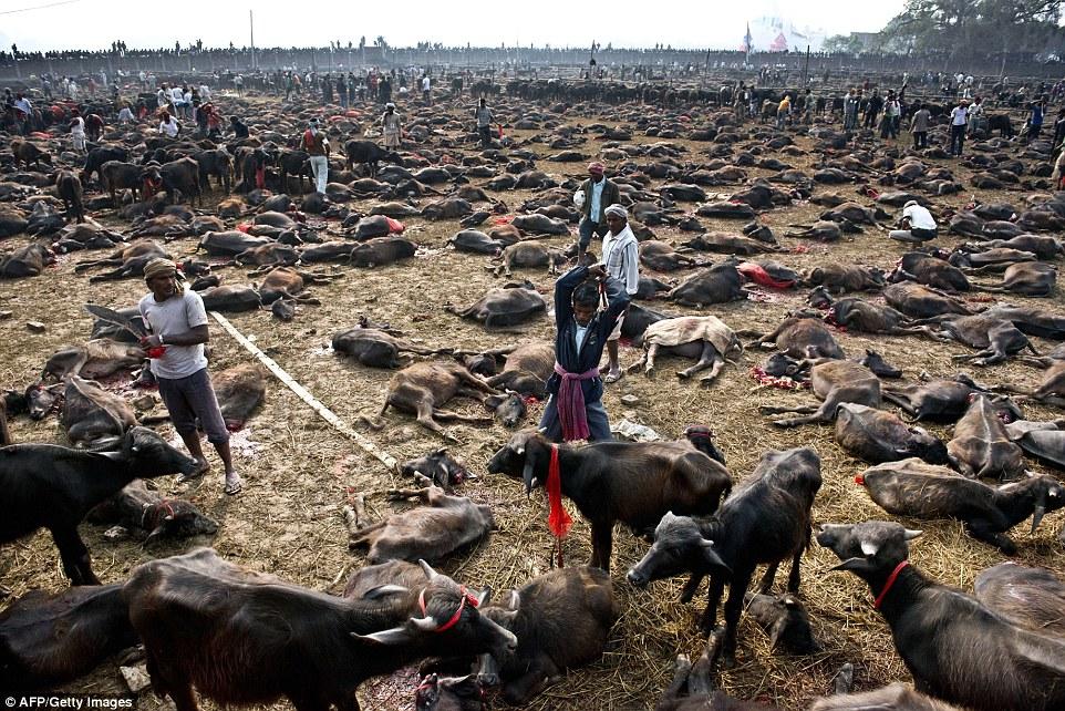 Matanza religiosa: Un carnicero se prepara para matar a un búfalo durante una masacre en masa de los animales para el festival Gadhimai dentro de un recinto amurallado en el pueblo de Bariyapur, cerca del templo de Gadhimai, la diosa del poder