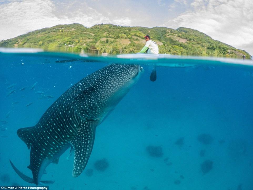 Encuentro con un tiburón ballena