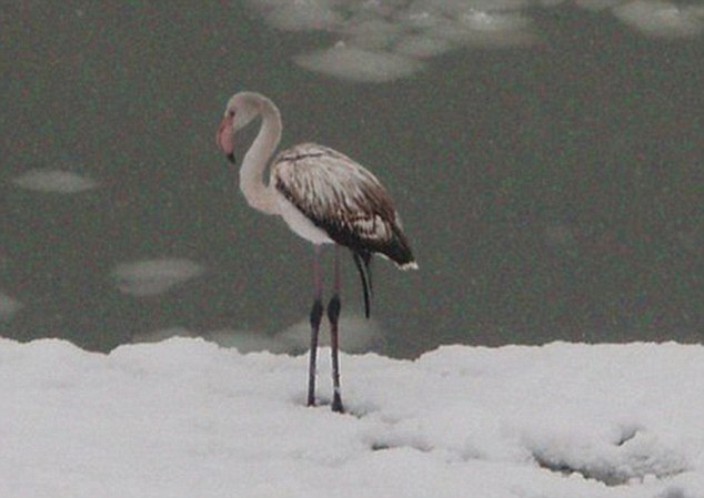 Chilly: One flamingowas spotted ambling along the snowy bank of the Usa Riverin Mezhdurechensk, Kemerovo region