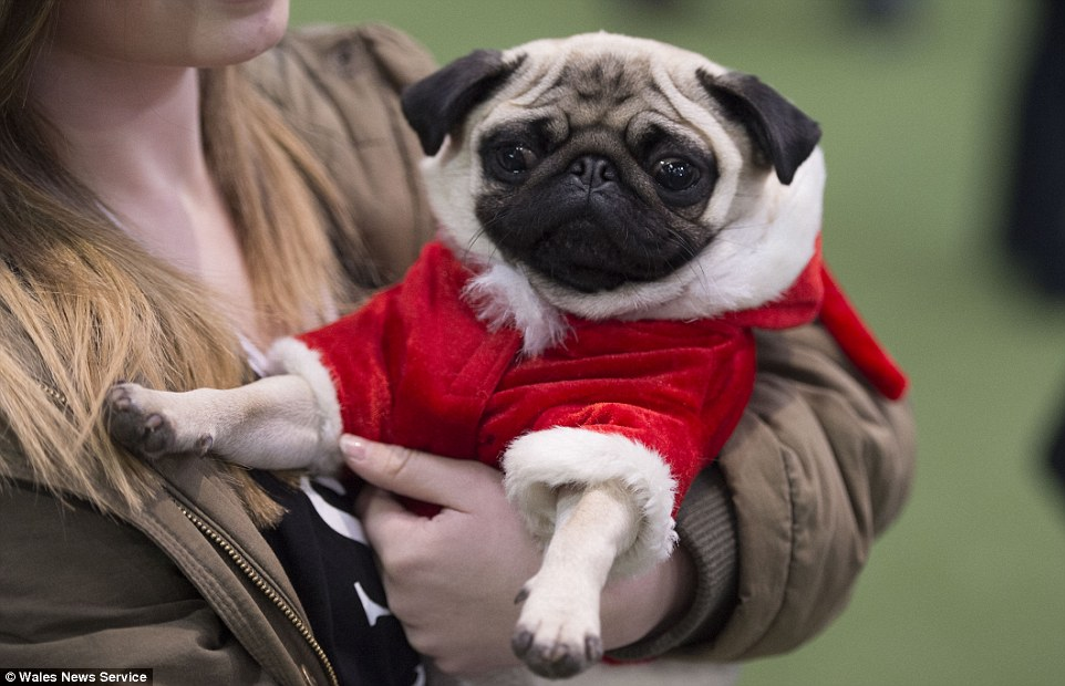 Cute Pugs Dress Up As Father Christmas And Mince Pies At