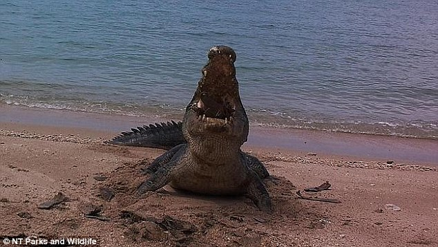 Amazing images have been emerged of the moment a saltwater crocodile shattered a dead sea turtle's shell out in a remote beach in the Northern Territory