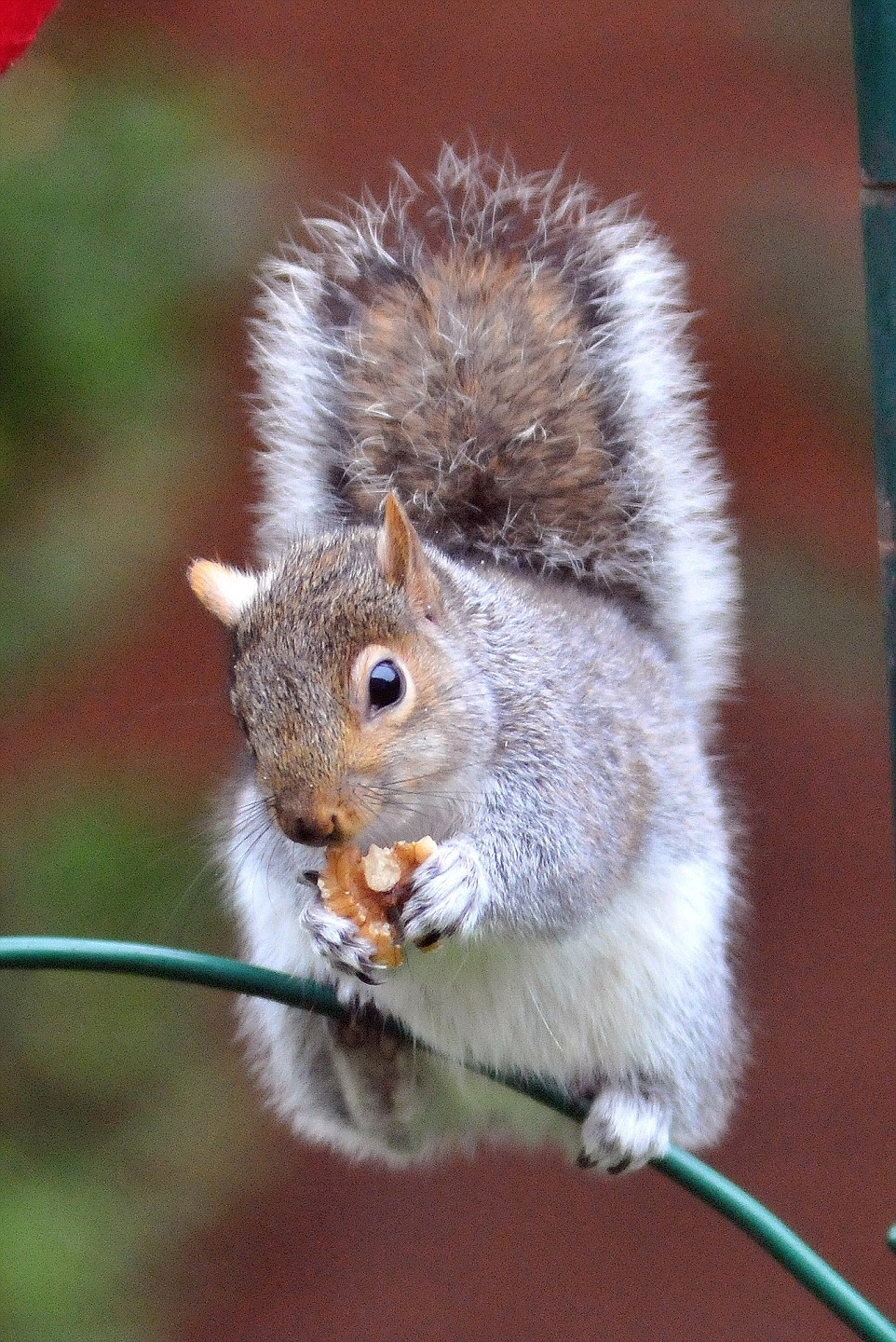 Squirrel Goes Nuts For Christmas Stocking Full Of Treats