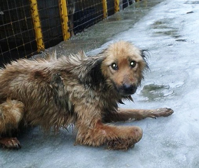 Pitiful: A neglected dog is pictured at the animal shelter in Romania where dogs were forced to eat each other to stay alive