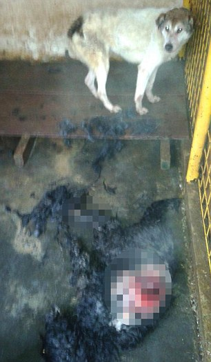Shocking: A dead dog lies on its side in a cage, where it was killed and eaten by another desperate and starving animal