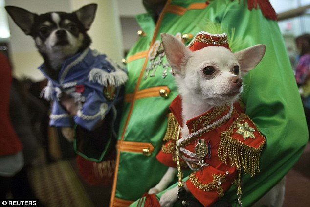 Time for walkies? Two chihuahuas wait for the action to begin
