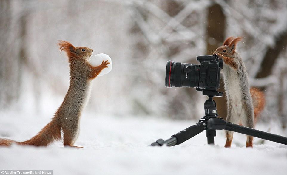 Pareja de ardillas rojas fotografiadas en un bosque en Voronezh, Rusia