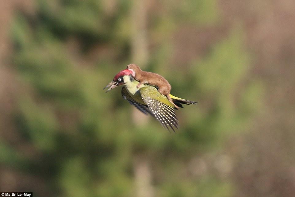 Comadreja sobre un carpintero real en pleno vuelo