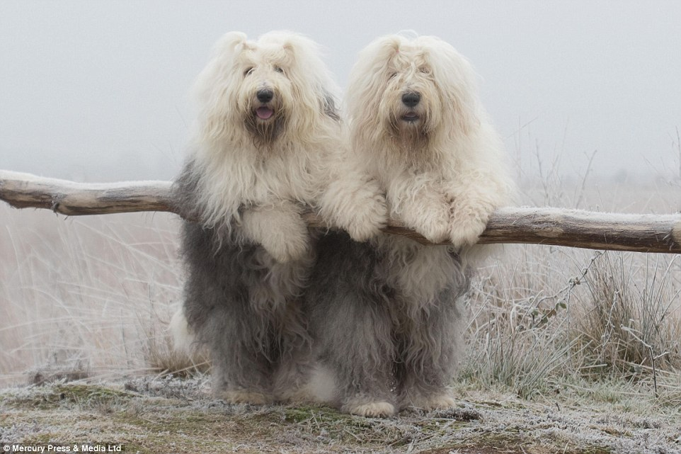 The Sheepdog Sisters Who Love To Do Everything Together