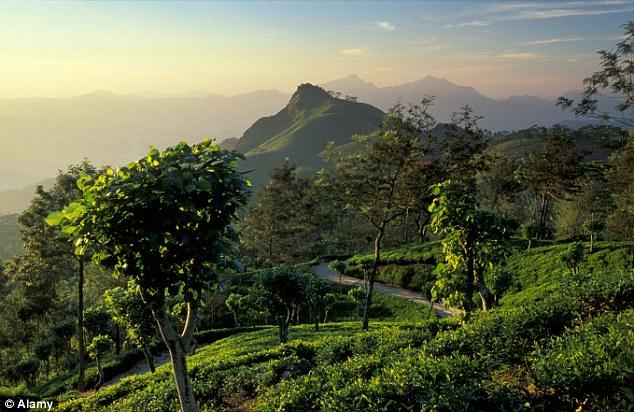 Picture perfect! A tea Planatation near Hunas Falls near Kandy Sri Lanka