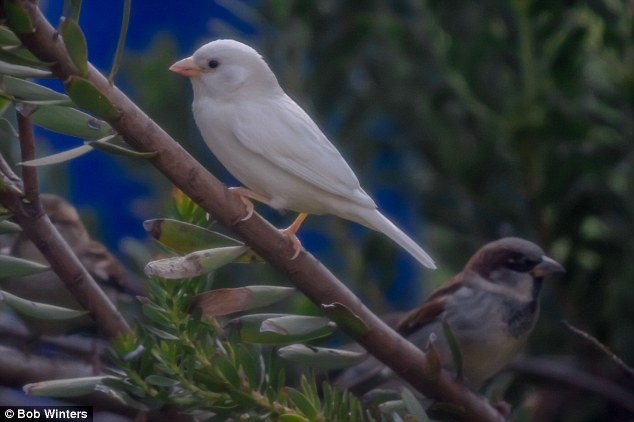 Because of the many problems it has to overcome albino sparrows will only live to one year old