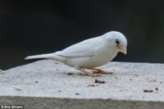 The rare albino sparrow's colour makes it stand out as a tasty dinner for birds of prey