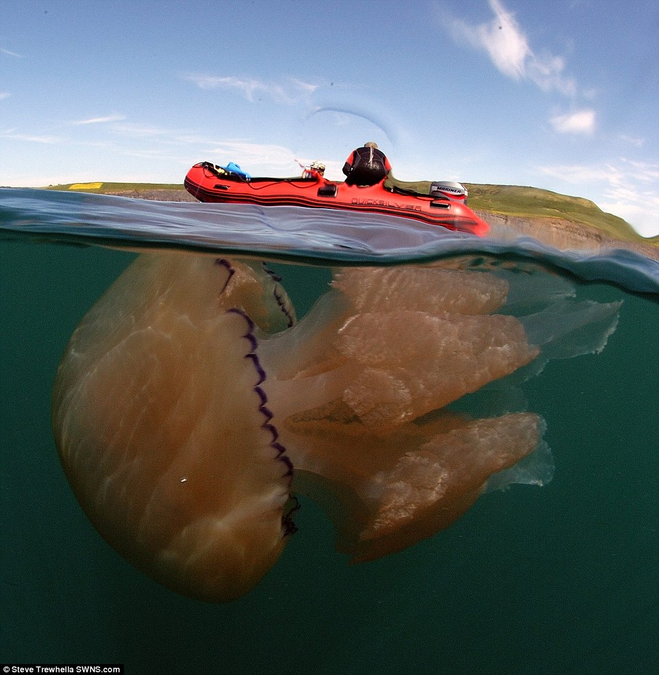 Tens of thousands of giant jellyfish are swarming off one of Britain's most popular stretch of coastline over the Bank Holiday