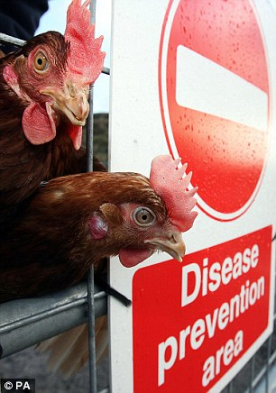 The deadly bird flu virus is only one or three mutations away from being infectious between humans, an expert warned (file picture)