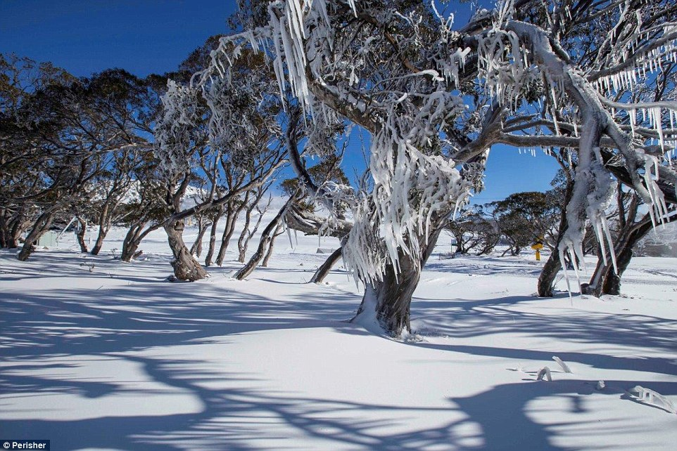 The NSW alpine resorts of Perisher (pictured) and Thredbo turned white overnight as 30cm of snow blanketed the mountains with lows of minus nine degrees