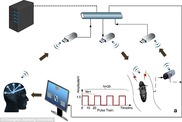 The system has numerous parts so that the wearer's brainwaves are sent to a central computer which then decodes them and sends them to the cockroach's backpack in order to control its actions (shown above)