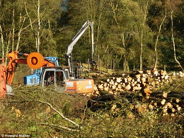 Trunks from dozens of trees lay in ragged piles with some sawn into roundels at Bickerton Hill in October last year