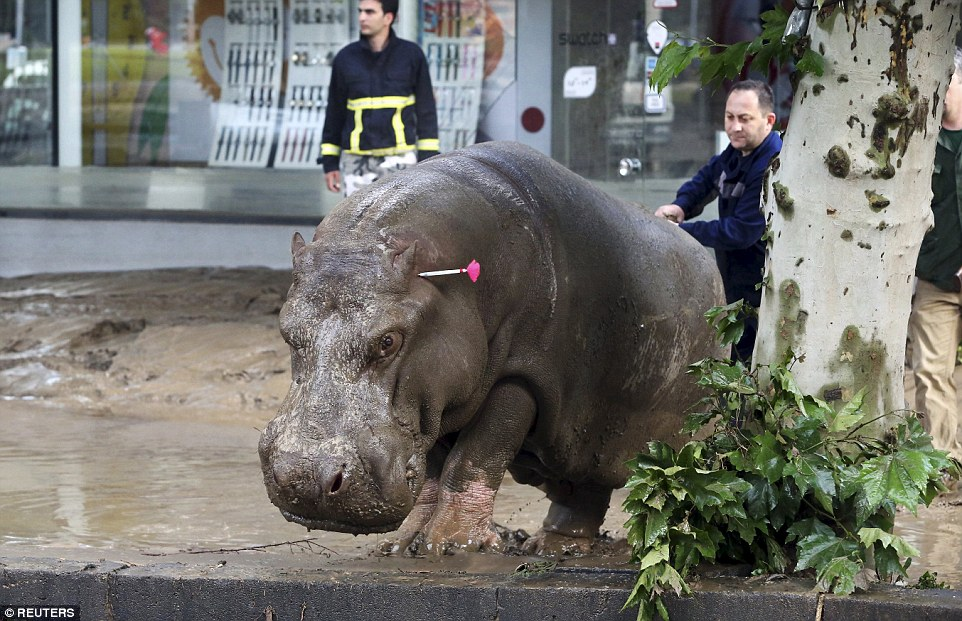 The disorientated hippo was eventually cornered in the main square of Tbilisi and was subdued by being shot with a tranquiliser gun