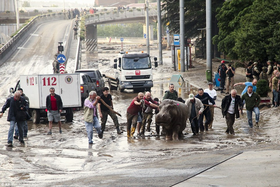 The tranquilised hippo is pushed along the street in Tbilisi after escaping from the zoo during flash floods in the Georgian capital - it is now safe and well and in the zoo again
