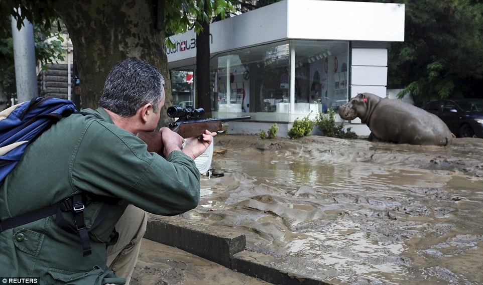 A man prepares to shoot a tranquilizer dart at a bewildered hippopotamus - Tbilisi zoo has begged people to not kill the animals unless they are attacking someone