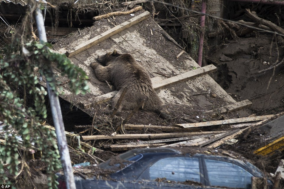 The body of a bear lies next to destroyed cars in Tbilisi after flash foods devastated the Georgian capital and led to dangerous beats on the loose in the city streets