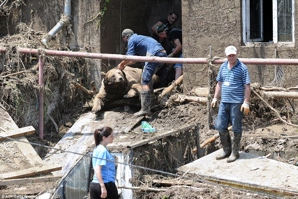 Workers haul the body of a bear out of a building following flash foods in Tbilisi that caused widespread destruction and devastation
