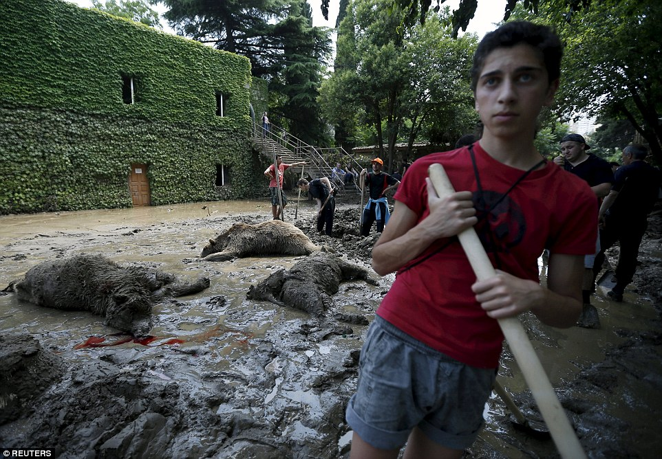 A volunteer begins the clean up operation today, as workers prepare burials for three bears lying face down in the filthy mud following the flash floods in the Georgian capital