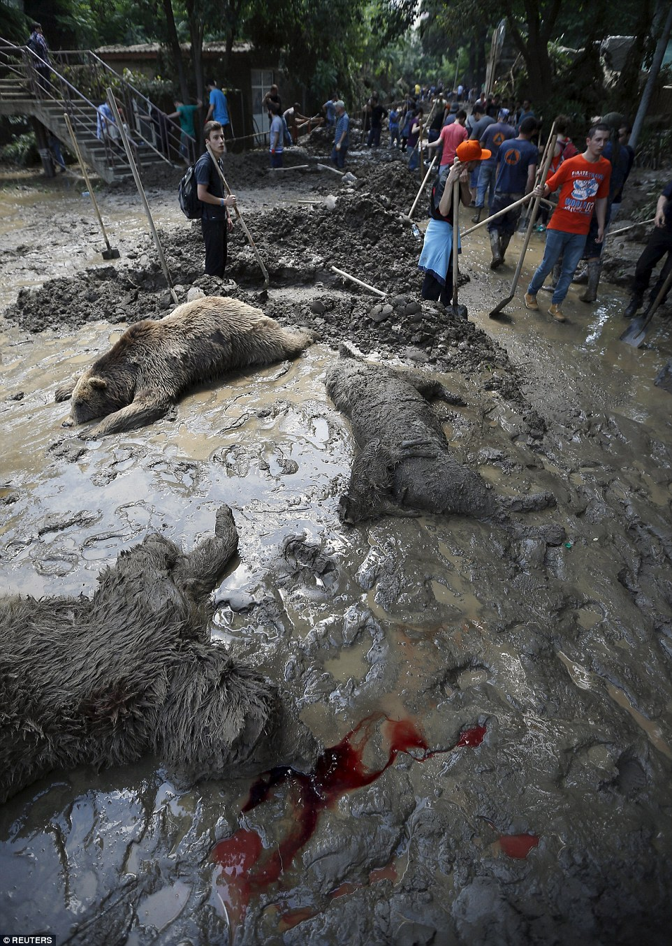 A pool of blood lies next to the body of a dead bear as workers build burials as a major clean-up operation started today