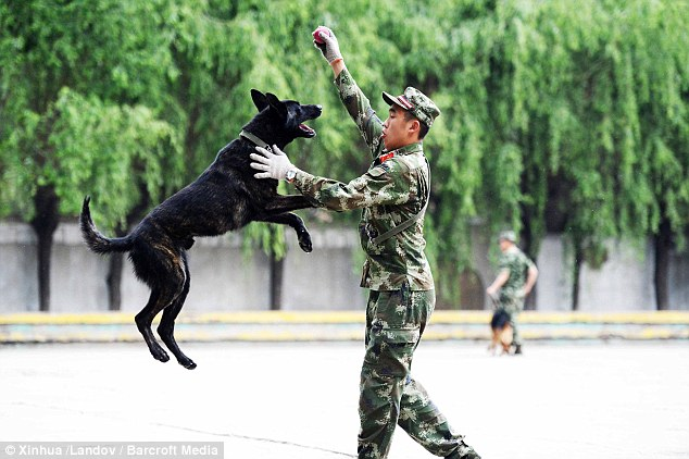 Flying high: The pooches are trained to an impeccable standard at police dog academies across China