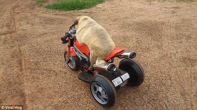 Puggy The Dog Rides His Electric Bike And Frees Himself