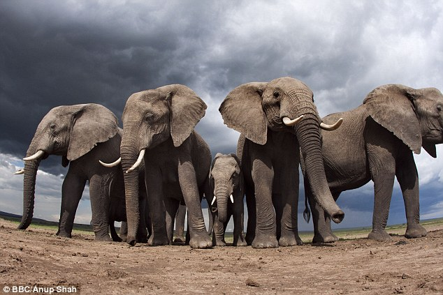 Large animals – described as megafauna and including elephants, rhinoceroses, polar bears and countless other species worldwide – face the highest rate of decline, a trend that matches previous extinction events.