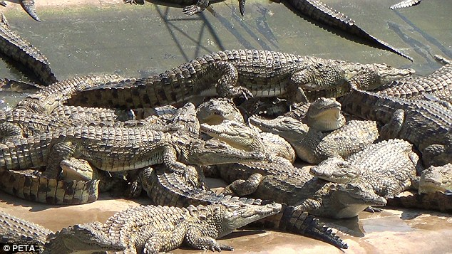 Cramped: The crocodiles move over the top of each other in their enclosures as they await their death