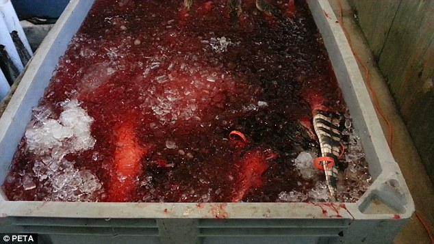 Sickening treatment: The tale of one of the dead crocodiles is seen above the surfaced of a blood-filled ice bin at the Texas farm